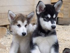 Google Image Result for http://www.puppy-4-sale.net/malamute-puppies.jpg