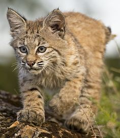 Young Bobcat.... I want one~!!!