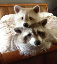 These Adorable Raccoon Pictures Will Make Your Monday! - World's largest collection of cat memes and other animals Fat Raccoon, Racoon, Rare Animals, Funny Animals, Strange Animals, Cutest Animals, Cute Creatures, Beautiful Creatures, Animals For Kids
