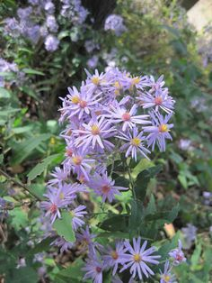 Aster shortii - Short's Aster: an attractive inhabitant of dry woodlands and savannas
