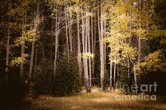 """""""Fall Aspen Meadow"""" by fellow artist/photographer Diane Sandoval - The Forests Edge Photography."""