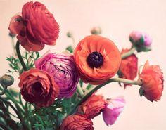 Ranunculus Photograph 8x10 Flower Print - romantic vibrant orange pink colorful fine art home decor. $30.00, via Etsy.