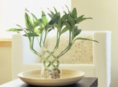 The lucky bamboo is one of the most popular feng shui cures. In traditional feng shui, the lucky bamboo is used to attract health, happiness, love and abundance. The feng shui lucky bamboo is widely used in both home and office feng shui decor solutions. Feng Shui And Vastu, Feng Shui Wealth, Feng Shui Cures, Feng Shui Lucky Bamboo, Lucky Bamboo Plants, Bamboo Garden, Feng Shui Dicas, Consejos Feng Shui, Best Bathroom Plants