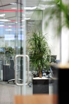 Branched Dracaena Marginata office plant display in corporate black pot