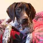 Maximilian German Shorthaired Pointer