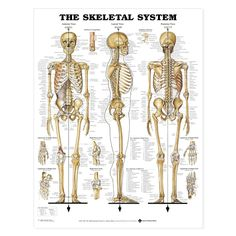 Rib cage anatomy physiology pinterest rib cage skeletal system anatomy poster shows anterior lateral and posterior views of the human skeletal system skeleton chart for doctors and nurses fandeluxe Image collections