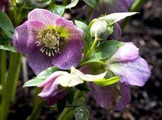 9 plante care infloresc iarna în grădină