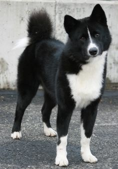 Karelian bear dog. This dog has no fear of anything. These dogs are used to chase bears and have a frostbite-proof double coat.