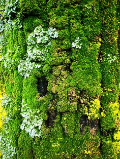 "Moss lichen on tree bark. ""It is not so much for its beauty that the forest makes a claim upon mens hearts, as for that subtle something, that quality of air that emanation from old trees, that so wonderfully changes and renews a weary spirit."" ~Robert Louis Stevenson"