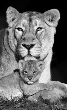 Lioness and cub Lioness And Cub Tattoo, Lion Cub Tattoo, Lioness And Cubs, Cubs Tattoo, Lion Head Tattoos, Top Tattoos, Small Tattoos, Panther Cub, Maine Coon