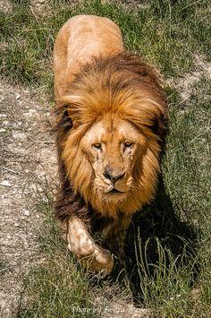 Sir Lion by brijome on DeviantArt