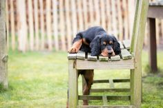 Gordon setter puppy dog playing in a meadow on the grass and with a chair, leading to a cute image Irish Setter, English Setter, I Love Dogs, Puppy Love, Cute Puppies, Dogs And Puppies, Setter Puppies, Red And White Setter, Gordon Setter