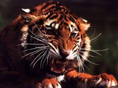 Le tigre est le plus grand des félins et sans aucun doute le plus beau. Parmi tous les mammifères de la planète, le tigre est l'un des plus puissants. Symboles de courage, tous les tigres ont en ...