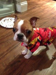 Xavier Brown Boston Terrier: Aloha, can I have cat meat too?