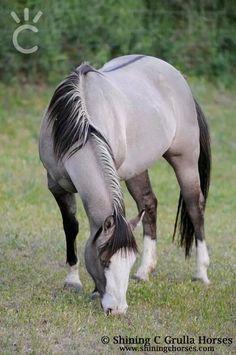 Reining in Diamonds, AQHA grulla stallion