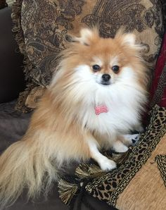 Princess Peach Pomeranian