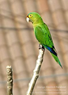 The orange-fronted parakeet or orange-fronted conure (Eupsittula canicularis), also known as the half-moon conure, is a medium-sized parrot which is a resident from western Mexico to Costa Rica. It is found in lowlands and foothills on the Pacific side of the central mountain ranges in forest canopy and edges, and more open woodland, including savanna and second growth. The orange-fronted parakeet feeds in flocks which can reach 100 birds.