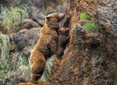 卡巴尔歇罗 Cabarceno 野生动物园,一只 棕熊 Brown Bear 幼崽在妈妈的帮助下尝试攀爬陡峭的岩壁,西班牙 Spain  坎塔布里亚 Cantabria。棕熊拥有强大的前肢和灵活的爪子,能够帮助它们在树枝、悬崖等近乎垂直的表面向上攀爬。摄影师:Marina Cano