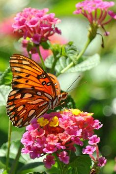 Butterfly on Lantana So happy Winter is finally OVER! Beautiful Bugs, Beautiful Butterflies, Beautiful Flowers, Amazing Nature, Butterfly Kisses, Butterfly Flowers, Butterfly Species, Butterfly Pictures, Belle Photo