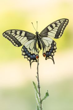 Swallowtail by Gerhard Vlcek Butterfly Painting, Butterfly Flowers, Monarch Butterfly, Butterfly Wings, Beautiful Bugs, Beautiful Butterflies, Flying Flowers, Moth Caterpillar, Butterfly Pictures