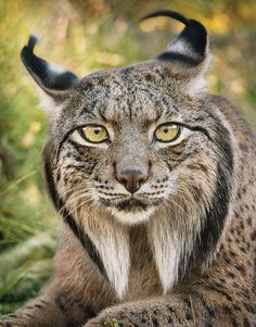 Magnificent Wild Animals Portrait Photography by Tim Flach / Lince Iberico - Iberian Lynx Small Wild Cats, Big Cats, Cats And Kittens, Cute Cats, Beautiful Cats, Animals Beautiful, Iberian Lynx, Gato Grande, Exotic Cats