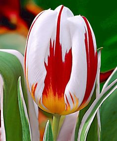 Tulip 'Happy Generation' ® | Flower Bulbs from Spalding Bulb
