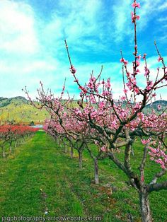 Beginning to bloom. Orchards in Osoyoos.