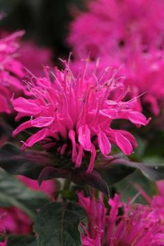 MONARDA DIDYMA 'BALMY™ ROSE' * Bee Balm