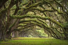 Moss-draped oak tree forest :: South Carolina