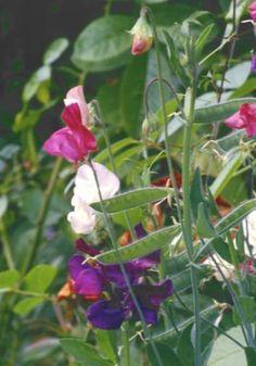 Tuoksuherne | Pirilän Kukkatalo