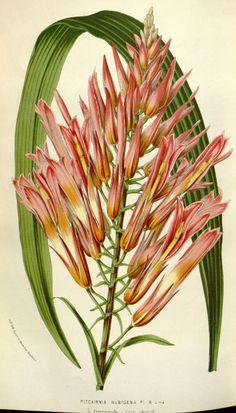 Flore des serres et des jardins de l'Europe. A Gand :chez Louis van Houtte, eÌditeur,1845-1880