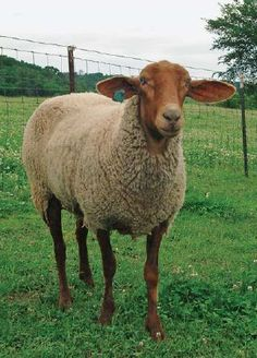 do you love me feed my sheep tunis rick