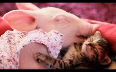 Adorably tranquil piglet and kitten cuddle in sweet display of interspecies love Baby Animals, Cute Animals, Cute Piggies, Baby Pigs, Second Baby, Beautiful Asian Girls, Funny Dogs, Cuddling, Kitten