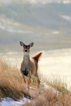 senerii: Spooked Deer on the Valley 2 by ~kamikaZikami Nature Animals, Farm Animals, Animals And Pets, Cute Animals, Wild Animals, Moose Deer, Oh Deer, Baby Deer, Deer Hunting