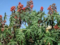 Castor Oil for Teen Health - Immune Health and Allergies Natural Treatments, Natural Cures, Castor Bean Plant, Agriculture Farming, Castor Oil, Herbal Remedies, Allergies, Herbalism, Seeds