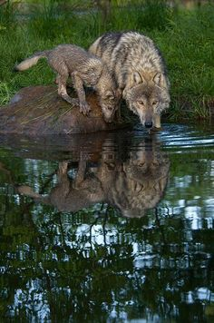 Mother Wolf and Her Pup Getting a Drink of Water.