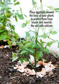 Instead of throwing away eggshells, put them in your garden!