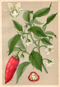1901 Chilli Pepper Botanical Print Capsicum annuum by Craftissimo