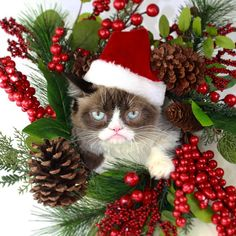 Tardar Sauce (Grumpy Cat) ^ makes a beautiful Christmas wreath [r] Grumpy Cat Quotes, Grumpy Cat Humor, Funny Cat Memes, Funny Cats, Grumpy Kitty, Hilarious, Funny Animals, Christmas Cat Memes, Christmas Animals