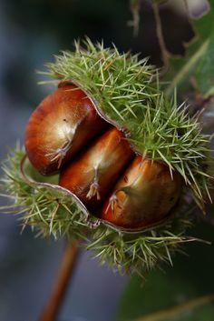 Otoño y..... castañas. Autumn.....chestnuts.