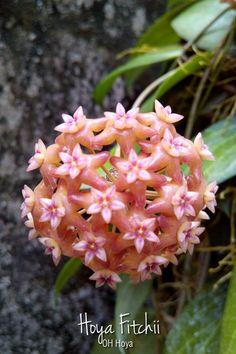 Hoya fitchii
