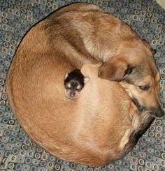 little dog inside a big dog