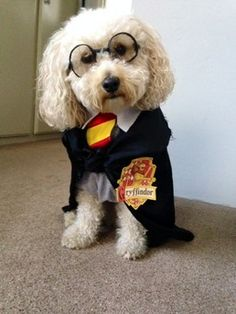 "Say hello to ""Hairy"" Potter. A four year-old bichon poodle who's magical charm wins over the hearts of every muggle he comes across."