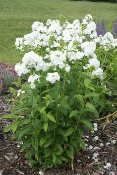 David Phlox are the backbone of any #perennial border. Huge, pure white, mildew resistant flowers soar over the dark green foliage in profusion all summer long. They are fantastic performers in any border, but try them in an all-white 'moon #garden' for an otherworldly effect. The #flowers are fragrant and showy, with brilliant non-fading color.