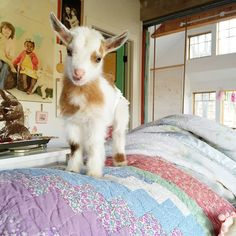 Pet cute baby animals, animals and pets, farm anima Beautiful Creatures, Cute Creatures, Animals Beautiful, Cute Little Animals, Cute Funny Animals, Fluffy Cows, Fluffy Animals, Gato Gif, Cute Goats