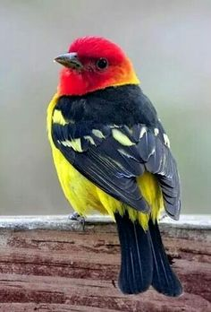 The Western Tanager. American songbird.