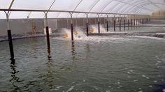Findus và Vegafish triển khai dự án nuôi tôm | Vietnam Aquaculture Network - Mạng Thủy sản Việt Nam