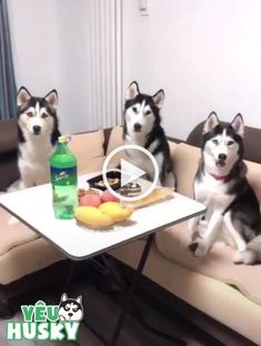 My dogs are very smart - Smart dog, husky cute, funny animals, delicious food, luxury apartments Funny Cats And Dogs, Cute Cats, Funny Animals, Cute Animals, Siberian Husky Funny, White Siberian Husky, Most Cutest Dog, Animal Gato, Funny Dog Videos