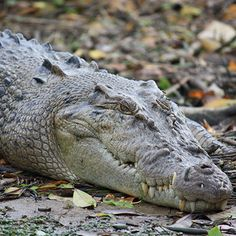 Australian Crocodiles - Information for the nervous tourist! Tarantula Habitat, Tarantula Enclosure, Australian Crocodile, Crocodile Images, Crocodiles, Alligators, Frog Terrarium, Reptile House, Musica