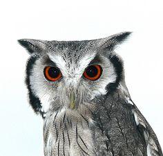Hehe dracula owl :-)